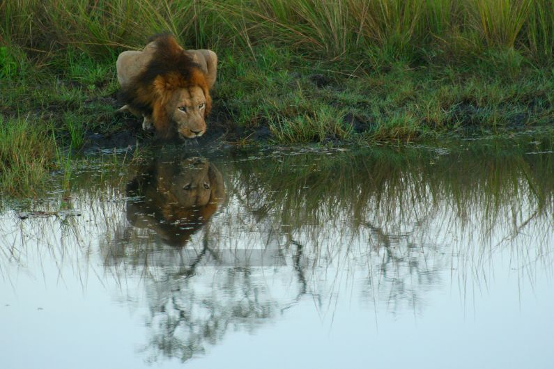 Male lion (Panthera leo) drinking water in the Sabi Sands Game Reserve, Kruger National Park